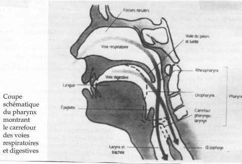 coupe schématique du pharynx